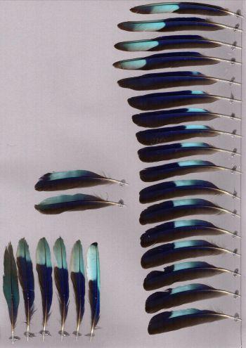 Federbeleg der Art Coracias benghalensis