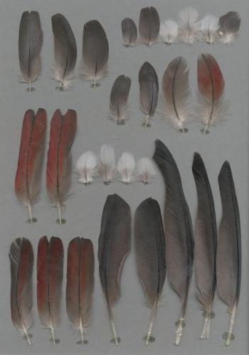 Bild von Federn der Art Psittacus timneh (Timneh-Graupapagei)