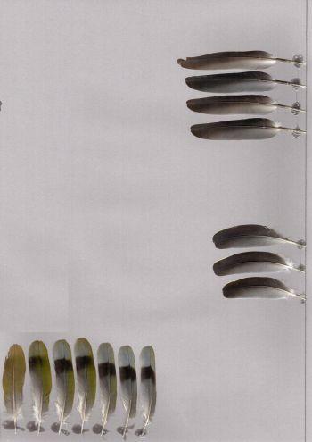 Bild von Federn der Art Treron fulvicollis (Zimtkopf-Grüntaube)