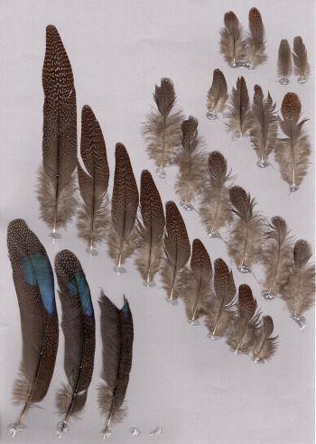 Bild von Federn der Art Polyplectron inopinatum (Rothschild-Pfaufasan)