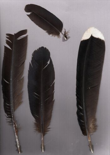 Exhibit of the species Mitu tuberosum