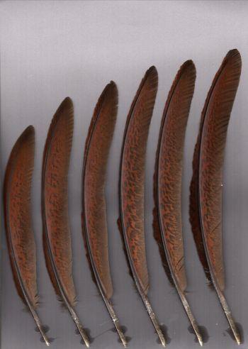 Exhibit of the species Crax rubra