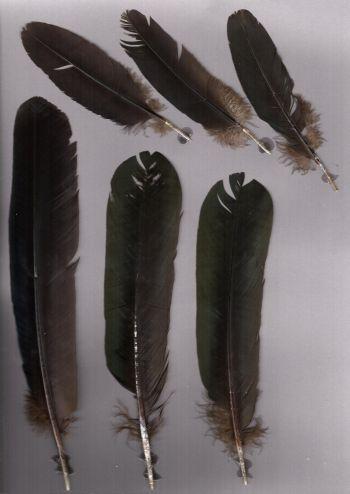 Exhibit of the species Aburria aburri