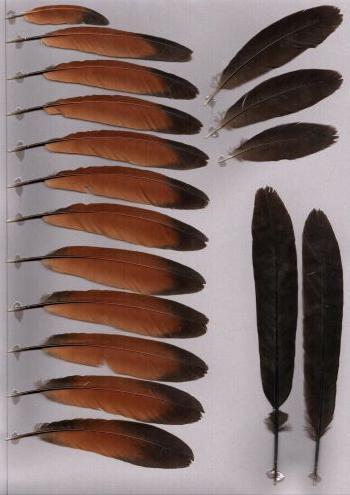 Bild von Federn der Art Centropus nigrorufus (Javakuckuck)