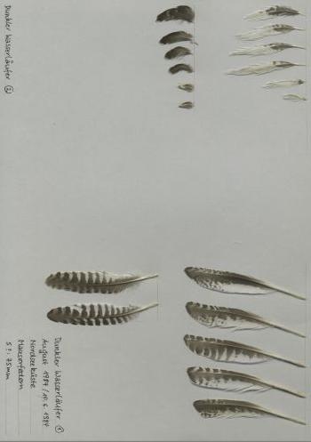Bild von Federn der Art Tringa erythropus (Dunkler Wasserläufer)