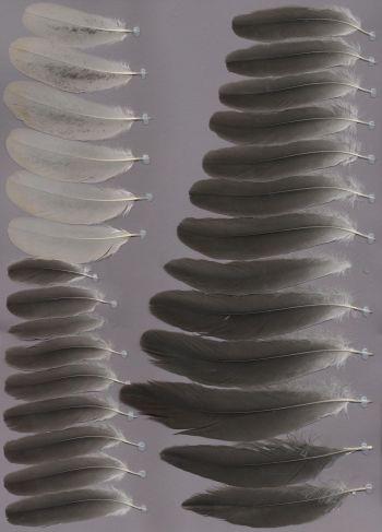 Bild von Federn der Art Grus nigricollis (Schwarzhalskranich)
