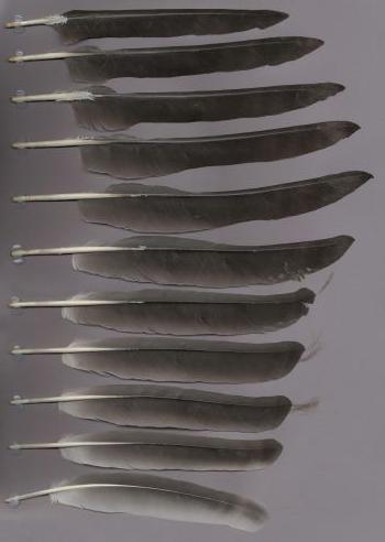 Exemplaires de cette espèce Grus antigone
