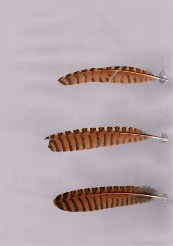 Bild von Federn der Art Centropus phasianinus (Fasanspornkuckuck)
