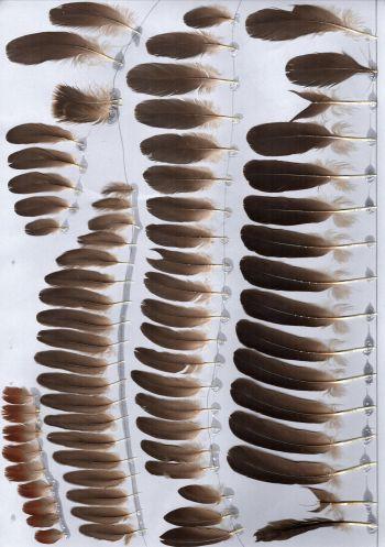 Bild von Federn der Art Dendrocygna arcuata (Wanderpfeifgans)