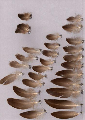 Bild von Federn der Art Anas superciliosa (Augenbrauenente)