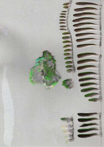 Exemplaires de cette espèce Dacnis cayana