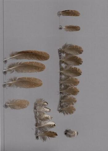 Exemplaires de cette espèce Batrachostomus javensis