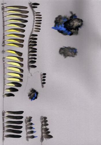 Exemplaires de cette espèce Cyanerpes cyaneus
