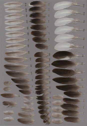 Bild von Federn der Art Melanitta fusca (Samtente)