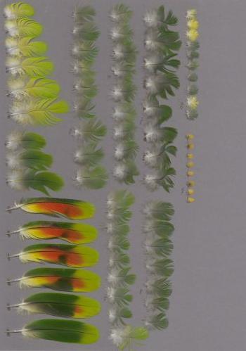 Bild von Federn der Art Amazona amazonica (Venezuelaamazone)