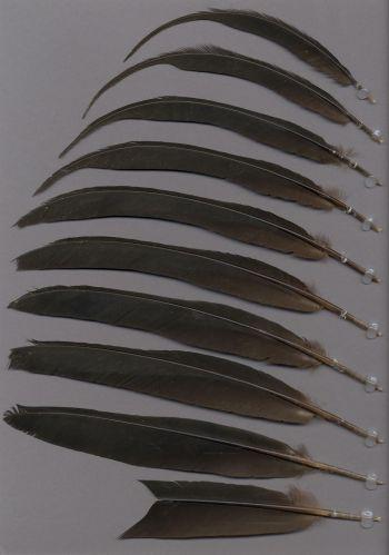 Exemplaires de cette espèce Pipile cumanensis