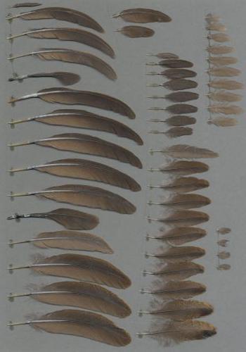 Bild von Federn der Art Bambusicola thoracicus (Chinesisches Bambushuhn)