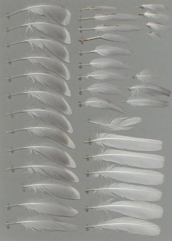 Bild von Federn der Art Hydrocoloeus minutus (Zwergmöwe)