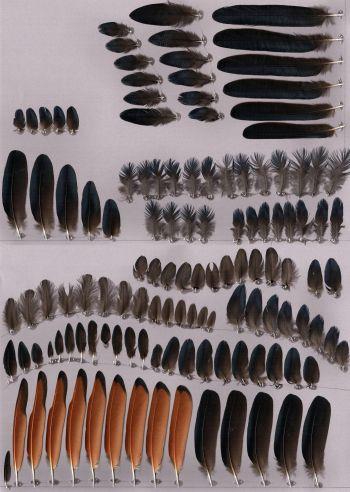Bild von Federn der Art Onychognathus morio (Rotschwingenstar)
