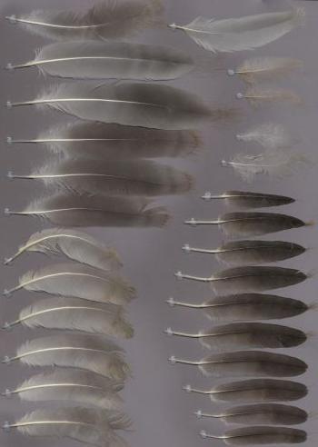 Bild von Federn der Art Grus antigone (Saruskranich)