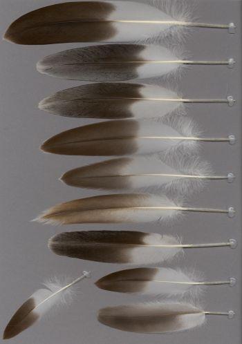 Bild von Federn der Art Pelecanus thagus (Chilepelikan)