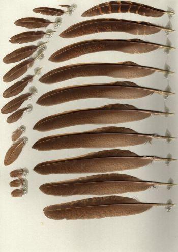 Bild von Federn der Art Chrysolophus pictus (Goldfasan)