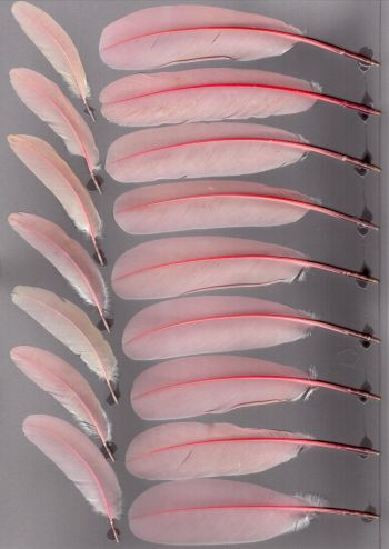 Bild von Federn der Art Platalea ajaja (Rosalöffler)