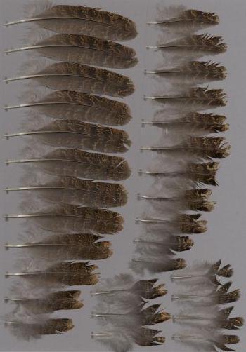 Bild von Federn der Art Tragopan temminckii (Temmincktragopan)