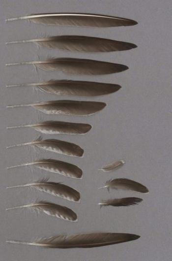 Bild von Federn der Art Tringa glareola (Bruchwasserläufer)