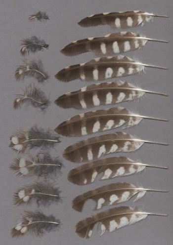 Exhibit of the species Athene noctua