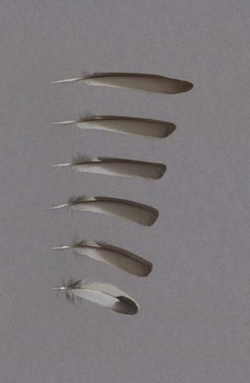 Exhibit of the species Ficedula hypoleuca