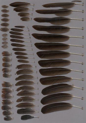 Bild von Federn der Art Dendrocygna bicolor (Gelbbrust-Pfeifgans)