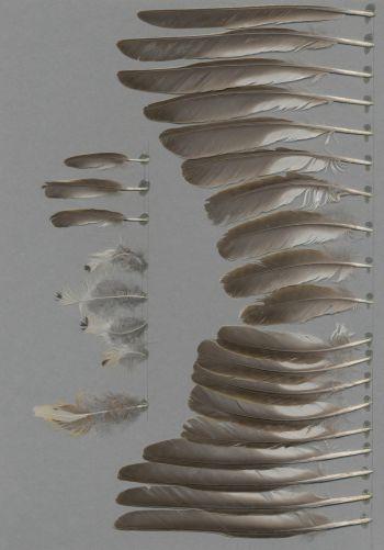 Exhibit of the species Turdus viscivorus