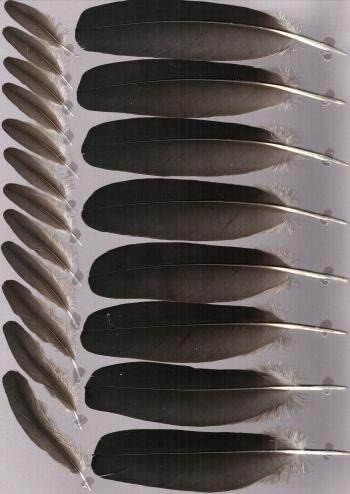 Bild von Federn der Art Anastomus lamelligerus (Mohrenklaffschnabel)