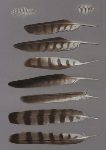 Exhibit of the species Accipiter brevipes