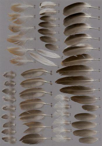 Bild von Federn der Art Mareca sibilatrix (Chilepfeifente)