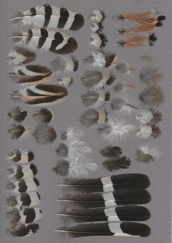 Bild von Federn der Art Upupa epops (Wiedehopf)