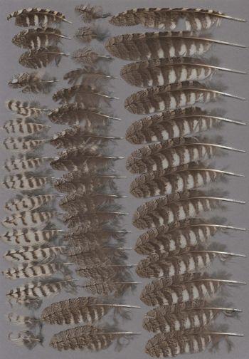 Exhibit of the species Otus scops
