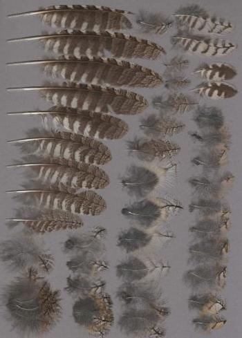 Bild von Federn der Art Otus scops (Zwergohreule)