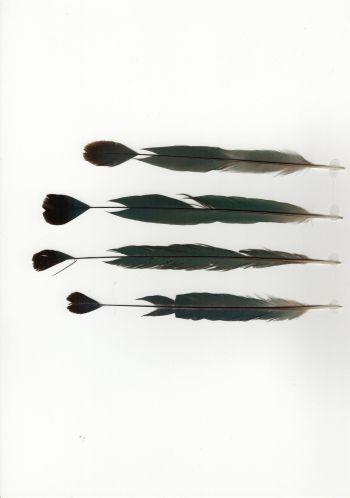 Exhibit of the species Momotus mexicanus