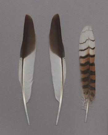 Exhibit of the species Dacelo novaeguineae