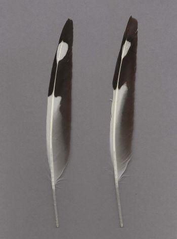 Exhibit of the species Chroicocephalus novaehollandiae