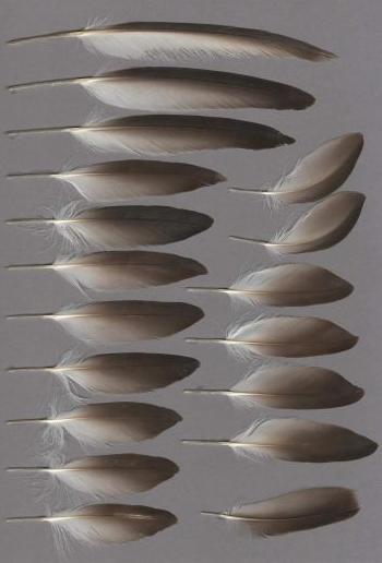 Exhibit of the species Puffinus yelkouan
