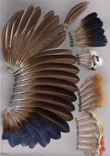 Bild von Federn der Art Chrysolophus amherstiae (Amherstfasan)