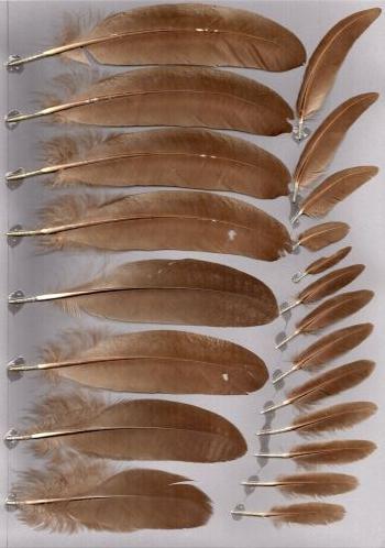 Bild von Federn der Art Crossoptilon mantchuricum (Brauner Ohrfasan)