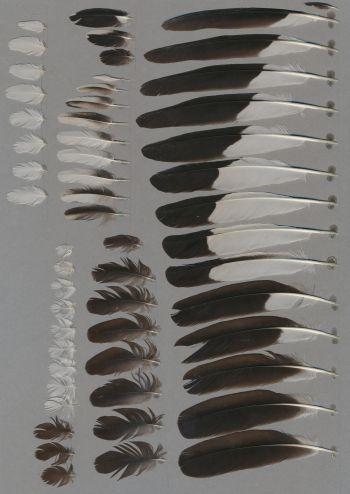 Bild von Federn der Art Acridotheres tristis (Hirtenmaina)