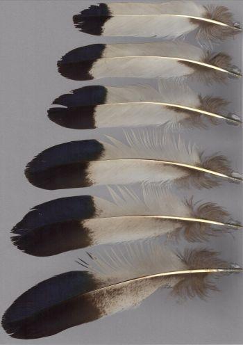 Bild von Federn der Art Crossoptilon auritum (Blauer Ohrfasan)