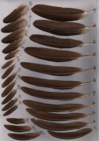 Exhibit of the species Lophura swinhoii