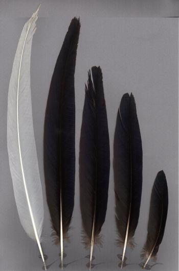 Bild von Federn der Art Lophura swinhoii (Swinhoefasan)