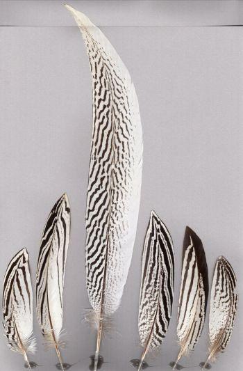 Bild von Federn der Art Lophura nycthemera (Silberfasan)